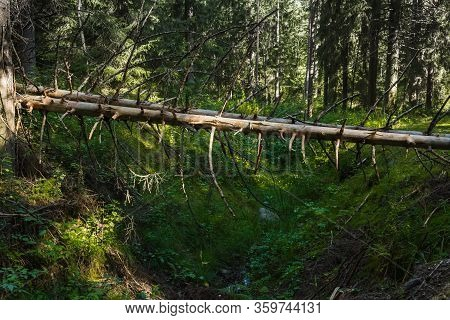 The Trunks Of Old Trees Lie Across The Ravine Deep In The Woods. At The Bottom Of The Ravine Creek F