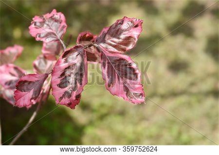 European Beech Purpurea Tricolor - Latin Name - Fagus Sylvatica Purpurea Tricolor