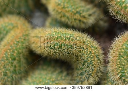 Rat Tail Cactus - Latin Name - Cleistocactus Winteri Forma Cristata (hildewintera Aureispina Cristat