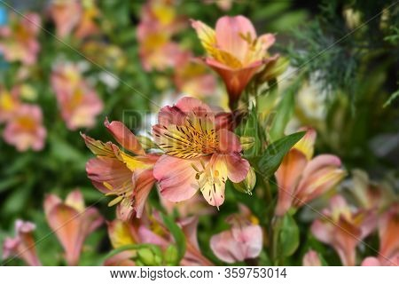 Peruvian Lily Majestic Henri - Latin Name - Alstroemeria Majestic Henri