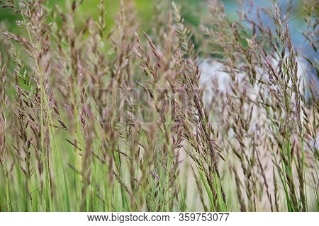 Dry Reeds On The Lake, Cane Seeds. Golden Reed Grass In The Sun. Abstract Natural Background. Beauti
