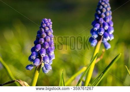 Muscari Grape Hyacinth Blue Flower Buds Spring Season Flowers Macro Image