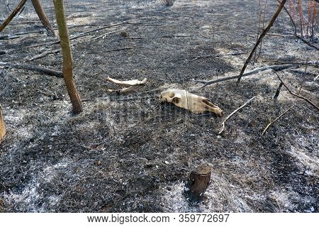 Skull And Jaw Of The Dead Animal On Ashes On Burnt Grass Between Burnt Trees In The Wildfire Zone. P