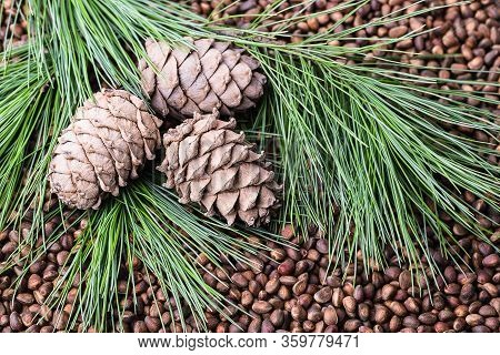 Siberian Cedar Pine Nuts With Cones And Green Coniferous Branches.