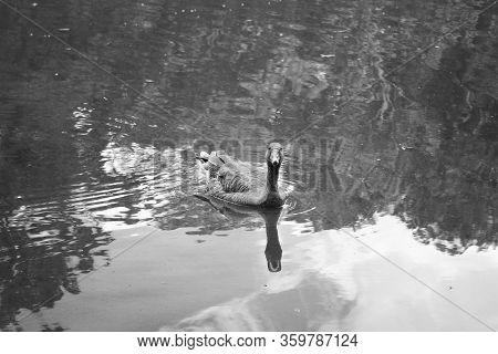 Goose Floating On The River. Still Water. Bright Goose Feathers. Detailed Colors. Goose In Natural L