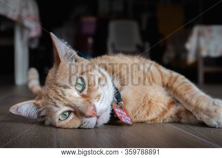 Thai Cat Animal Lying On House Stairs Look At Camera. Domestic Animals.