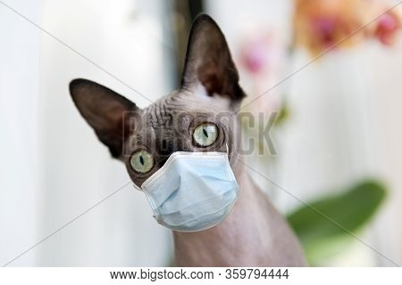 Cat Breed Sphynx Canadian, Pet, Animal, Mammal, Cat Muzzle, In A Medical Mask At Home, Protection Fr