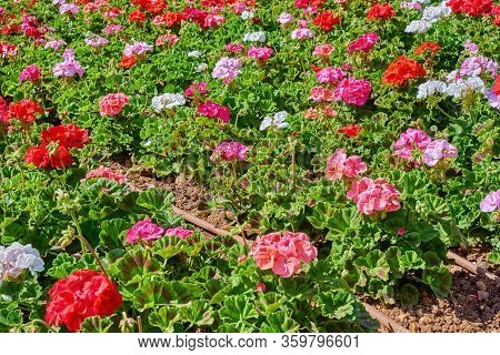 Flowerbed With Colorful Flowers Of Geraniums In Sun Rays. Floral Background, Selective Focus, Natura