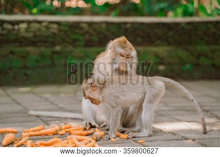 Two Monkeys While Feeding In A Park In Ubud. Monkeys Are Fed Carrots. Monkeys In Their Natural Habit