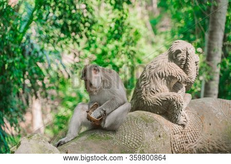 A Funny Monkey Is Sitting Next To A Statue Of A Monkey And Eating A Coconut. Monkeys In Their Natura