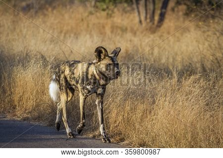 African Wild Dog With Radio Collar Walking On Safari Road In Kruger National Park, South Africa ; Sp