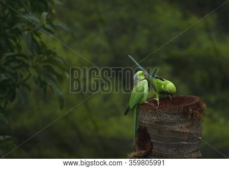 Green Parrots On The Tree Nest - Couple Of Indian Parrot Siting On The Tree And Looking Their Nest -