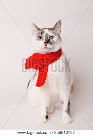 White Fluffy Blue-eyed Cat In A Red Knitted Scarf. On White Background, Isolated