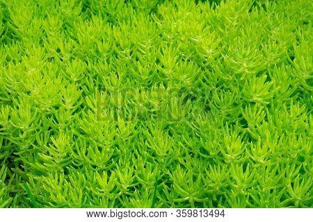 Sedum Reflexum Angelina, Also Known As Sedum Rupestre Angelina. Pattern Made Of Low Growing, Mat For