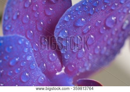 Close Up View Of Beautiful Orchid Flowers Petals In Bright Purple Color.phalaenopsis Orchid Macro Ph