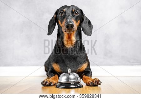 Cute Dachshund Laying On The Floor With A Bell Between Paws For Calling Of A Servant. Light Backgrou