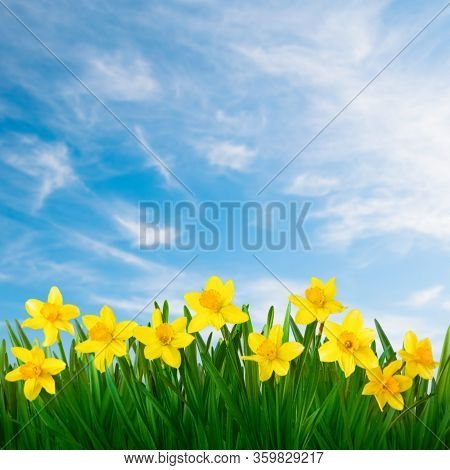 Nature Spring Background With Yellow Daffodils Flowers On Blue Sky Background. Beautiful Floral Temp