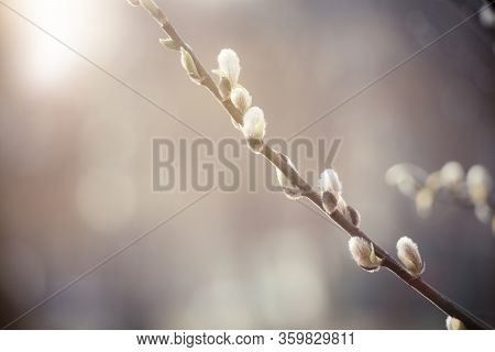Spring Nature Scene With Pussy Willow Branch, Soft Focus. Blooming Fresh Willow Branch Tree Closeup