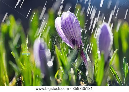 Blooming Crocuses With White Petals With Lilac Stripes With With Rain In The Sunlight (crocus Vernus