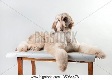 Blond Haired Afghan Hound Puppy In Studio On A White Background, Cute Afghan Hound Puppy