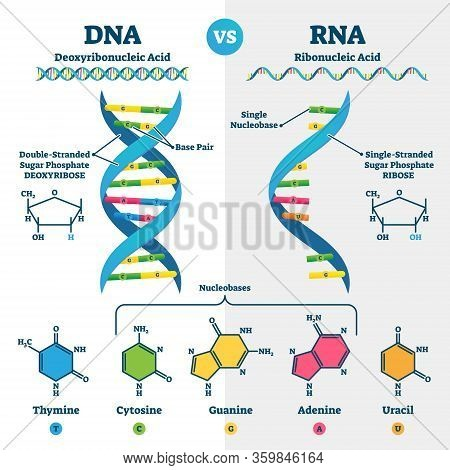 Dna Vs Rna Vector Illustration. Educational Genetic Acid Explanation Diagram. Nucleobases Structure