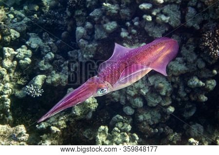 Reef Red Squid With Big Eyes Deep Underwater, Red Sea, Egypt. Ocean Cephalopod With Tentacles Swimmi