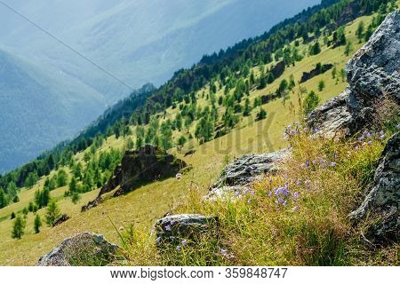 Green Mountain Scenery With Tender Lilac Bellflowers Flowering On Rocks Among Coniferous Trees And C