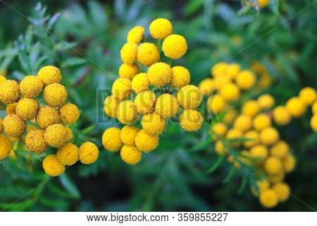 Tansy Also Known As Common Tansy, Bitter Buttons, Cow Bitter, Mugwort Or Golden Buttons