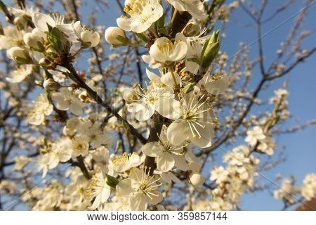 Blackthorn Branch With Lots Of White Flowers As A Background