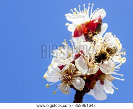 A Branch With Inflorescences Against A Background Of Blue Sky And A Bee That Collects Honey From The