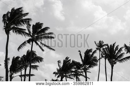 Black Palm Trees Silhouettes Over Cloudy Sky. Black And White Photo Background