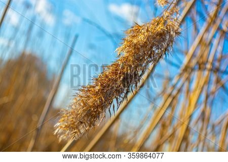 Reed Dry On The River In Spring. Dried Reed Seeds.