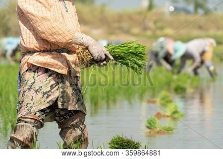 Traditional Method Of Rice Planting.rice Farmers Divide Young Rice Plants And Replant In Flooded Ric