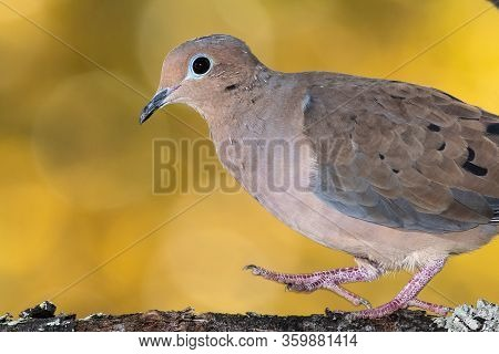 Mourning Dove Perched On An Autumn Branch