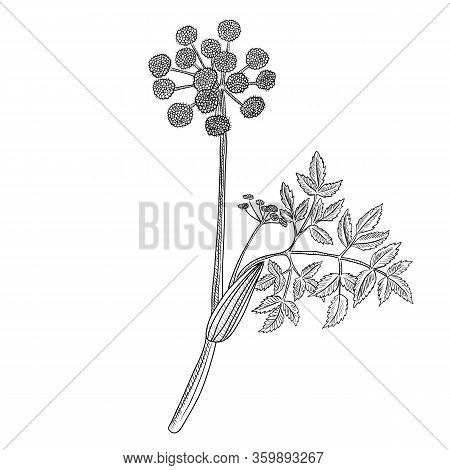 Vector Drawing Wild Celery, Angelica Archangelica, Hand Drawn Illustration