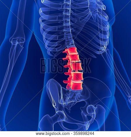 Human Skeleton System Vertebral Column Lumbar Vertebrae Anatomy 3d Illustration