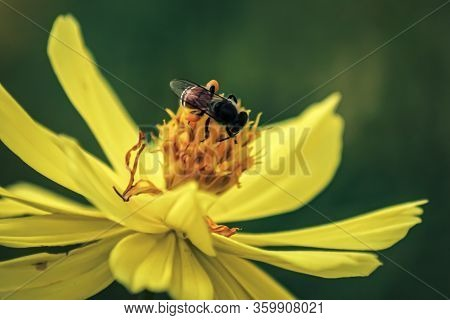 Blurred Unclear Nature Background Bee Or Honeybee On Yellow Flower Collects Nectar. Golden Honeybee