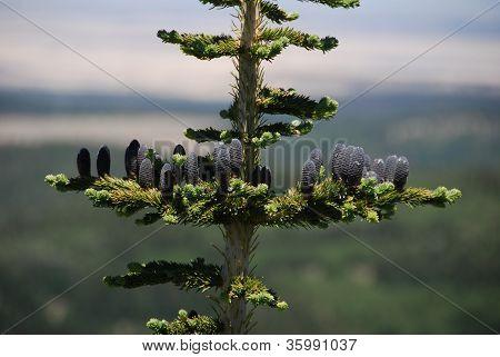 Bristlecone pine close-up