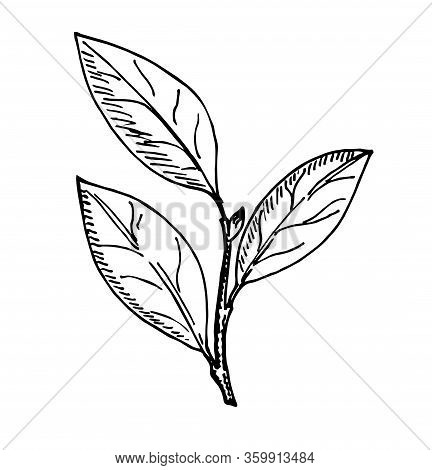 Bay Leaf Vector Hand Drawn Illustration. Isolated Object. Engraved Style Seasoning Laurel. Detailed