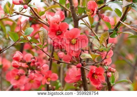 Beautiful Pink And Red Henomeles Flowers. Shrub Without Leaves Blooms In Early Spring. Delicate Peta