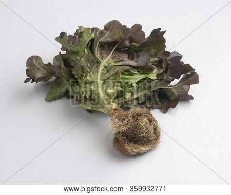 Fresh Red Oak Leaf Lettuce With Root Isolated On White Background