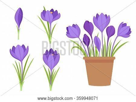 Vector Set Of Violet Crocus Flowers And Flowers In Pot