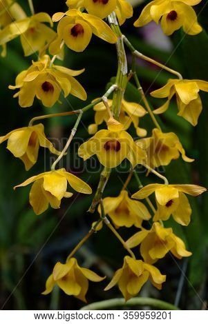 Dendrobium Densiflorum,  Is A Species Of Epiphytic Or Lithophytic Orchid That Is Native To Asia. It