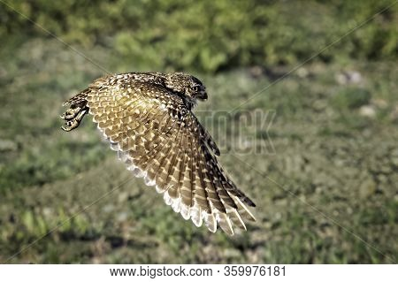 A Burrowing Owl Flying Across The Green Meadow With A Wide Wingspan