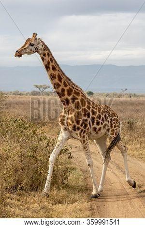 Rothschild's giraffe, Giraffa camelopardalis rothschildi, running across a dirt road in Lake Nakuru National Park, Kenya. This species is endangered and decreasing in the wild.