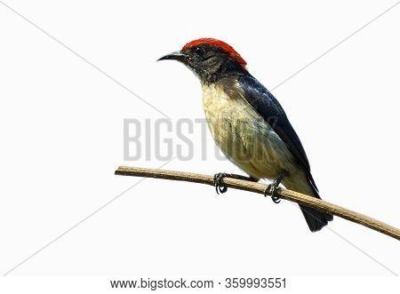 Image Of Scarlet-backed Flowerpecker Bird(dicaeum Cruentatum) Isolated On White Background. Bird. An