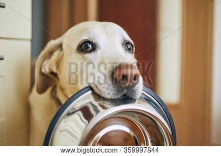 Hungry Dog With Sad Eyes Is Waiting For Feeding In Home Kitchen. Cute Labrador Retriever Is Holding