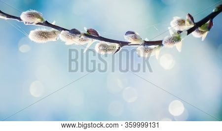 Delicate Spring Nature Background With Pussy Willow Branch. Fresh Willow Branch Tree Close Up In Sun