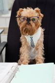 Dog accountant sitting in an office chair on the table of documents. poster