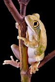 A big-eyed tree frog is sitting on a branch. poster